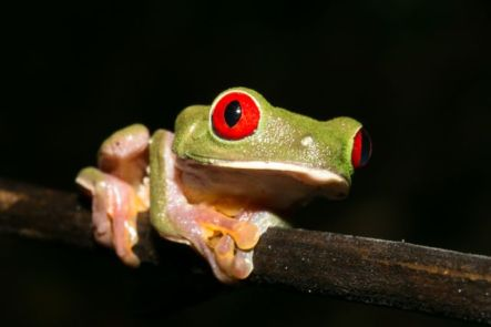 Red-eyed Tree Frog -Agalychris callidryas