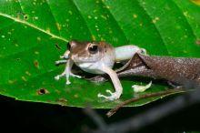 Common Rain Frog – Craugastor fitzingeri