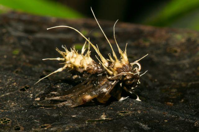 Moth killed by Cordyceps Fungus – Cordyceps sp.