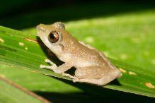 Pygmy Rain Frog – Pristimantis ridens