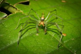 Long-jawed Jumping Spider – Lyssomanes sp.