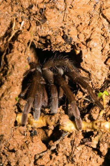 Burrowing Tarantula – Aphonopelma crinirufum