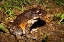 Smoky Jungle Frog – Leptodactylus savagei